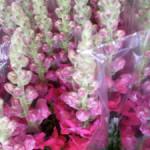 Roze Leeuwenbekjes